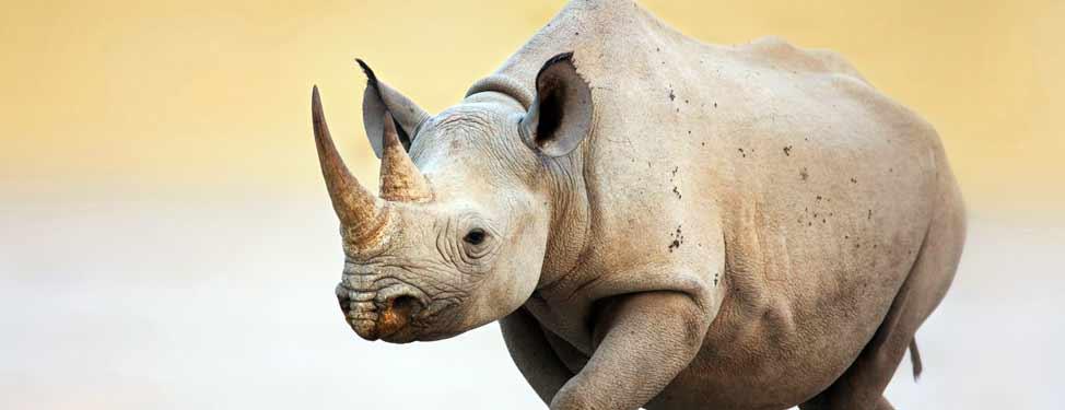 A small rhino walking along