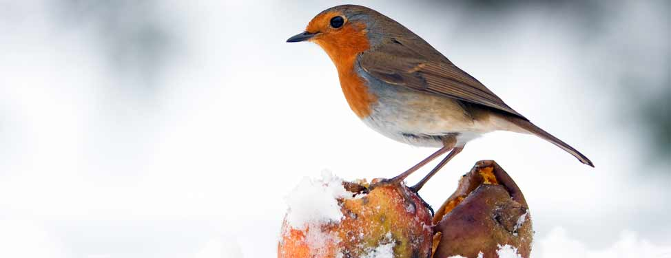 Robin stands on a piece of fruit in the snow
