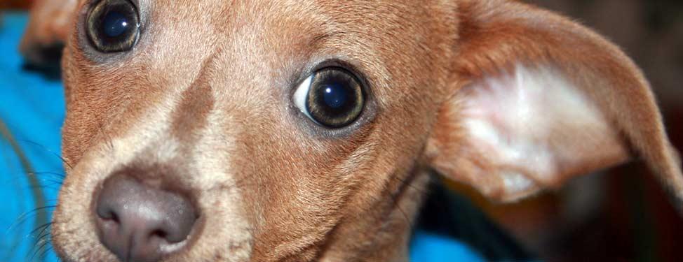 Pet dog looking at the camera
