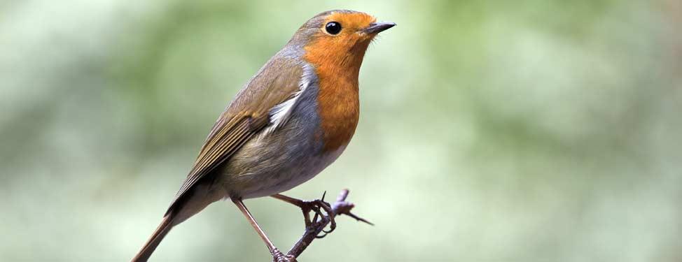 A robin sits on a twig