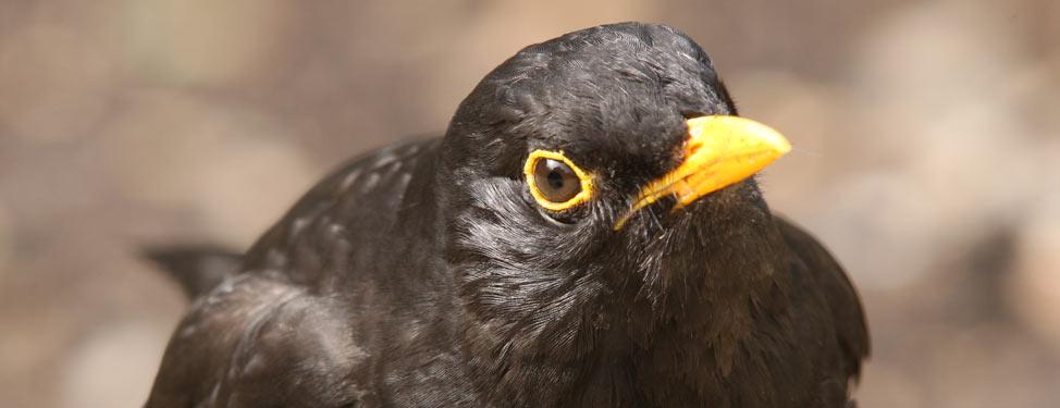 British bird looking at camera