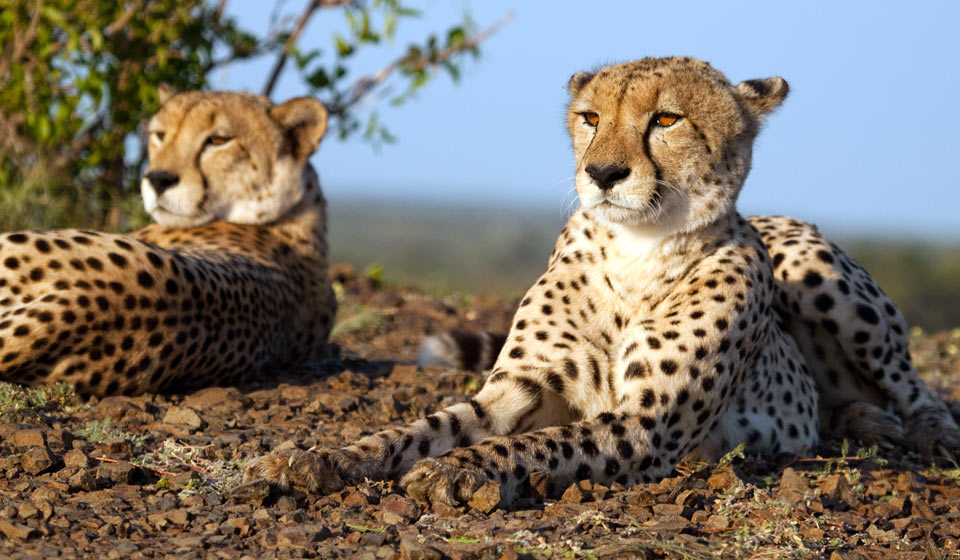 Two cheetahs sitting in grass
