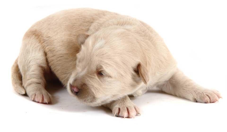 Sponsor a puppy guide dog