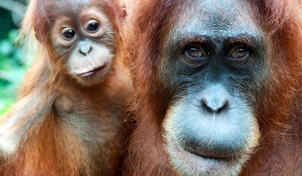 http://www.want2donate.org/sites/default/files/img960x560-orangutan7_1.jpg