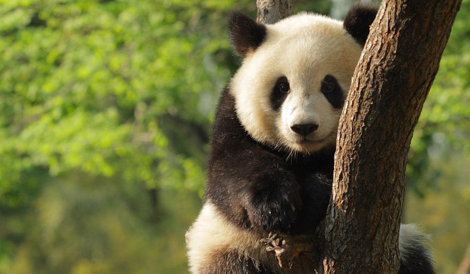 An endangered panda bear