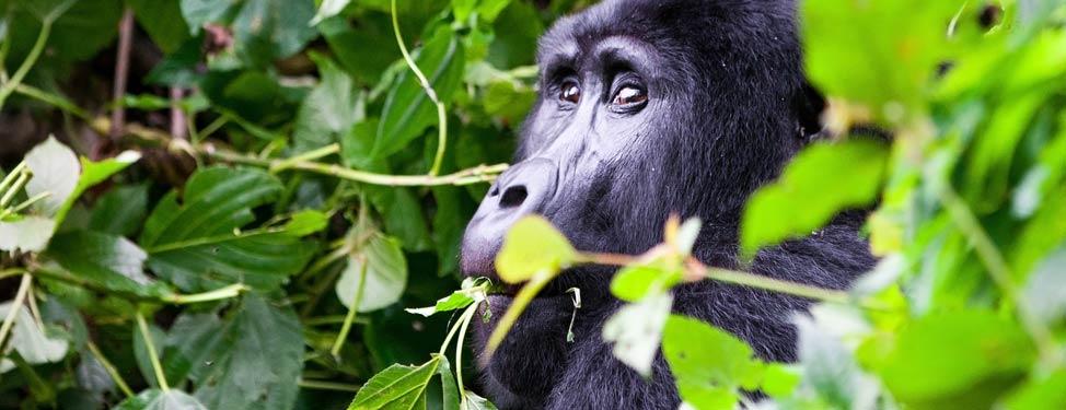 A gorila eating leaves