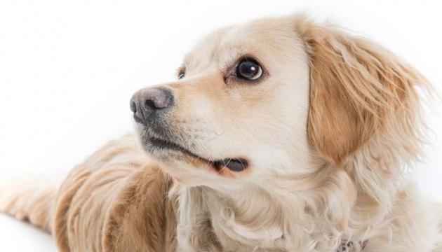 Guide dog golden labrador