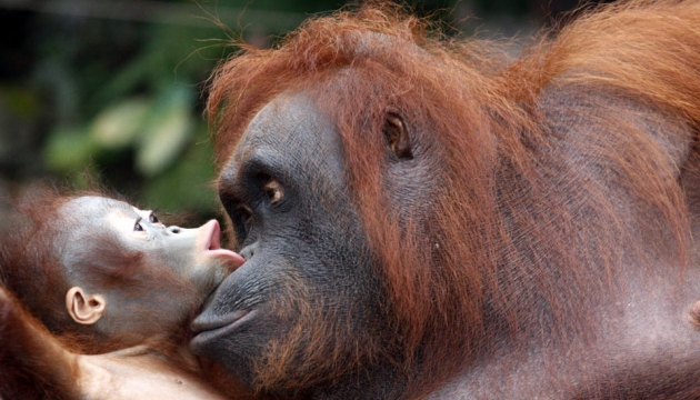 A mother orangutan and her baby
