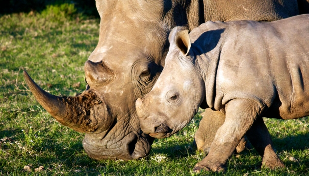 the quest to save the white rhino species by stopping the illegal practice of poaching All of which are on the iucn red list of threatened species white rhino one of the main threats to the rhino is poaching  to help save the rhino in.