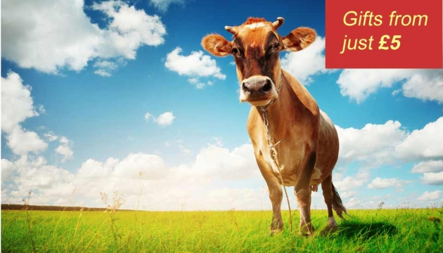 A cow looks down at the camera in a sunny field