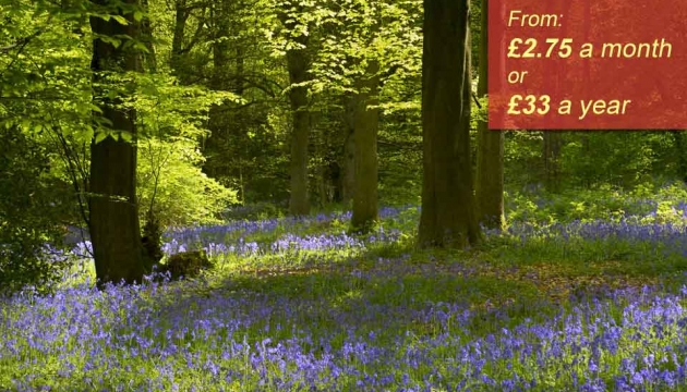 A beautiful woodland covered in bluebells