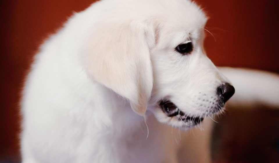 Blind Dog Training Volunteer