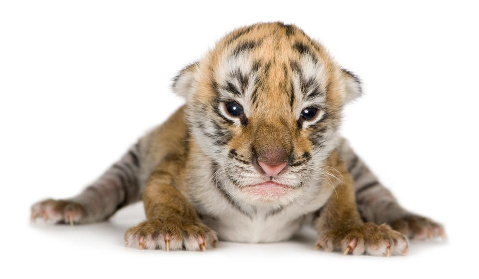 Saving Big Cats and Cubs