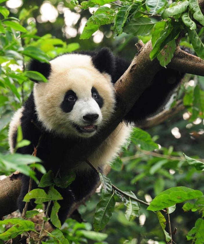 A cute baby panda in a tree