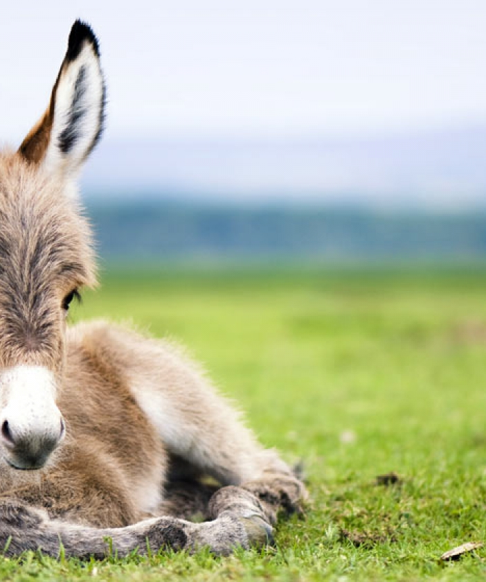 A donkey sitting in the grass