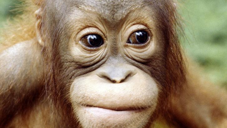 An endangered orangutan