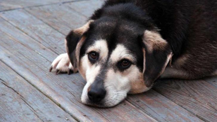 Sad looking dog lying down