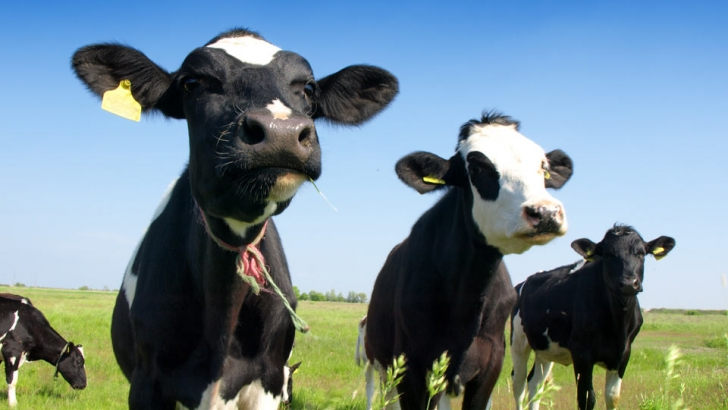 3 cows in a sunny field