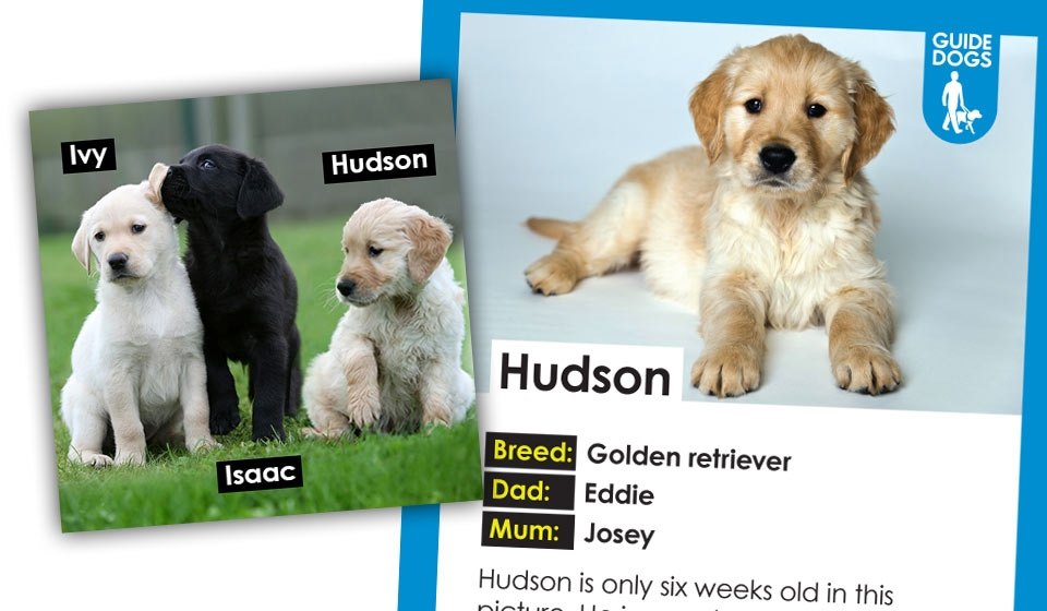 How To Sponsor A Puppy To Become A Guide Dog For The Blind